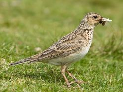 800px-skylark_22c_lake_district2c_england_-_june_2009
